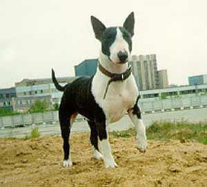 породы собак бойцовые фото